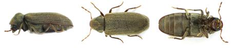 Adult woodworm beetle (anobium punctatum)