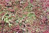 Sedum blanket