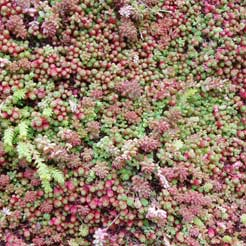 Sedum – popular covering for green roofs