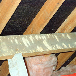 Woodworm bore dust (frass)